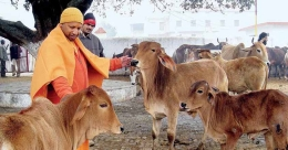 Yogi on a wild goose chase as stray cattle menace flares up