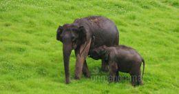 Call of the Wild   Rampant ivory trade: an elephantine problem