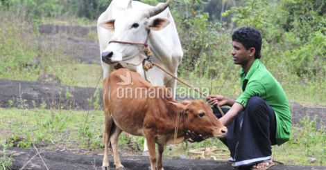 Kerala to introduce insurance for cattle