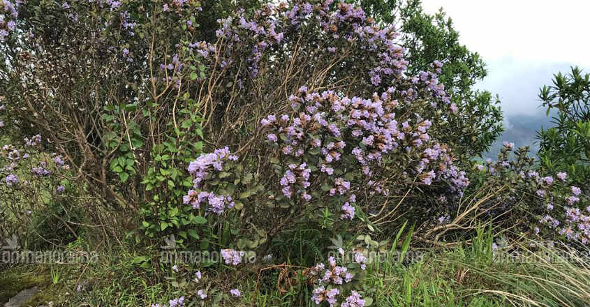 Here's why you cannot get a glimpse of Neelakurinji this weekend