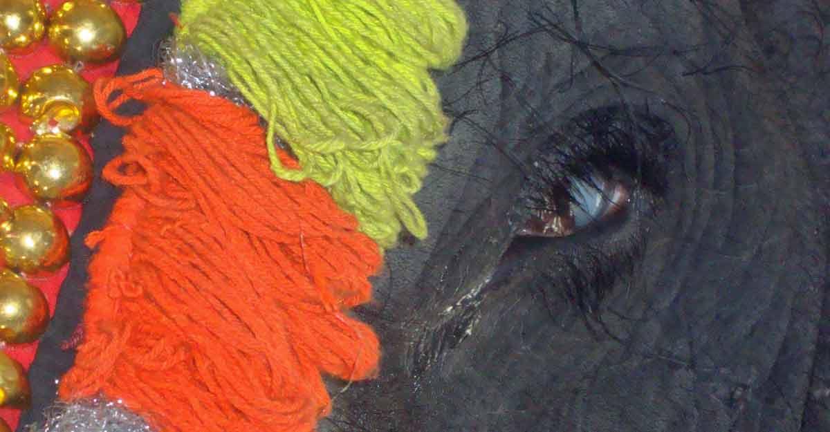captive-elephant-eye
