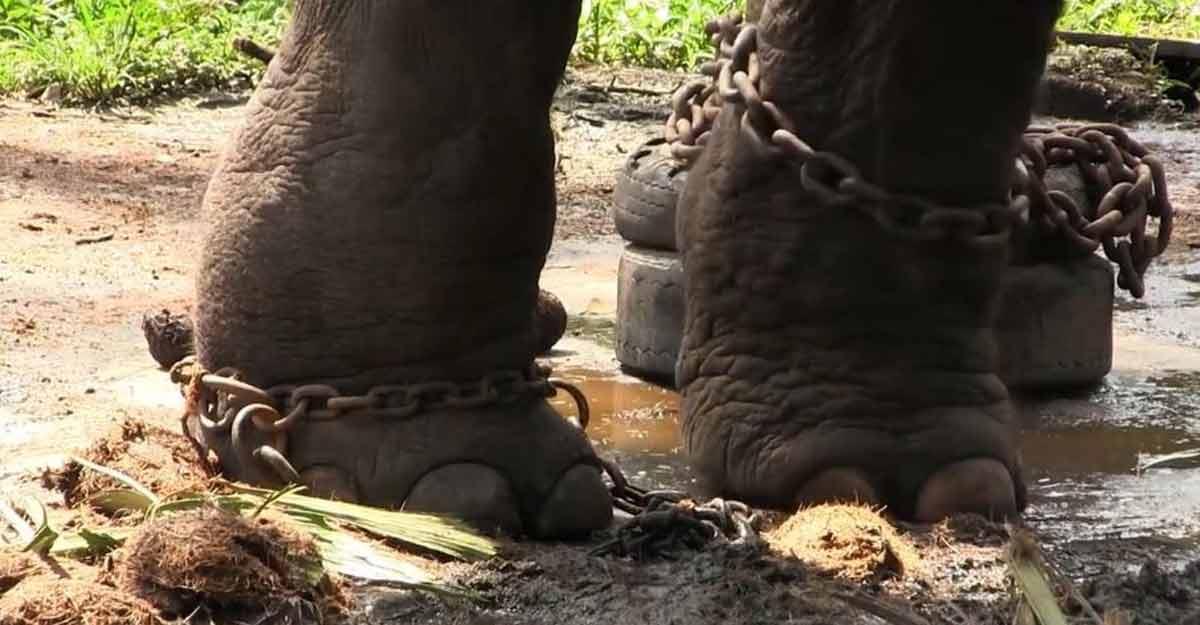 captive-elephant-leg