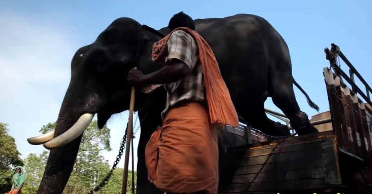 captive-elephant