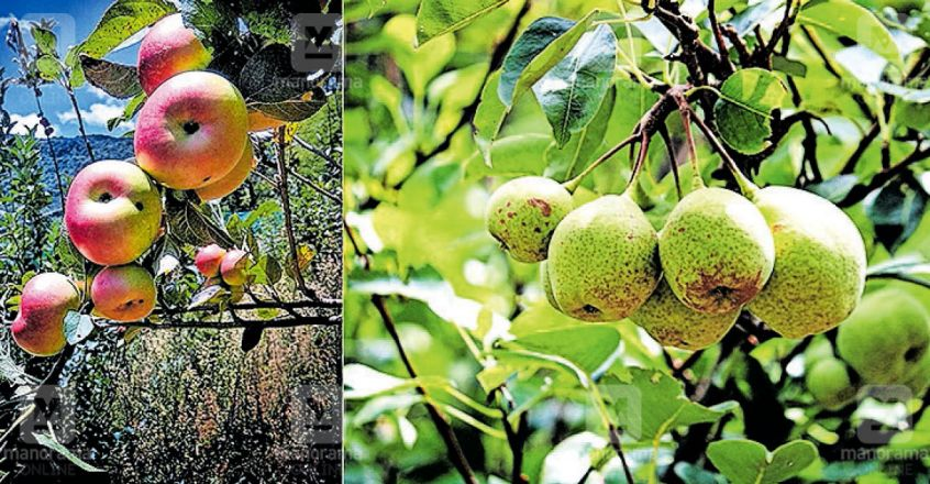 idukki-marayur-apple-fruits.jpg.image.845.440