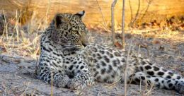 The survival threat faced by Asia's most populous and elusive big cat