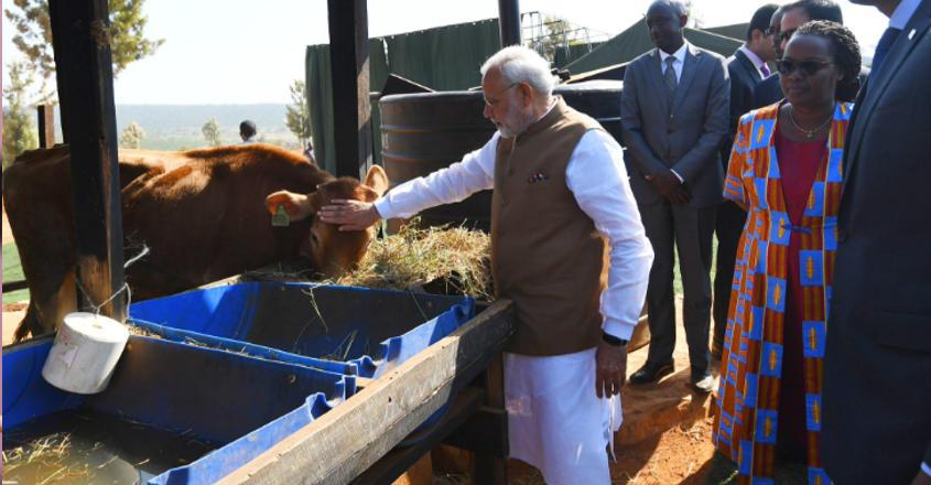 Nation on the 'moo' as NaMo takes 200 cows into Rwanda