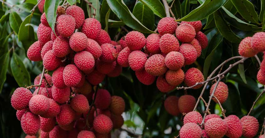 Litchi fruit under scanner over encephalitis deaths in Bihar