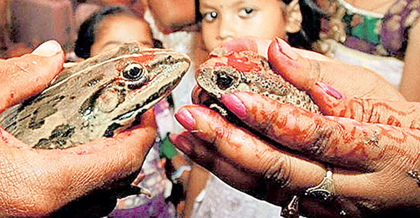 Monsoon wedding of frogs ends up in divorce after torrential downpour