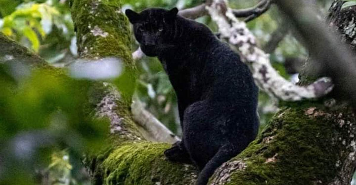 Black panther spotted by forest officer in Karnataka