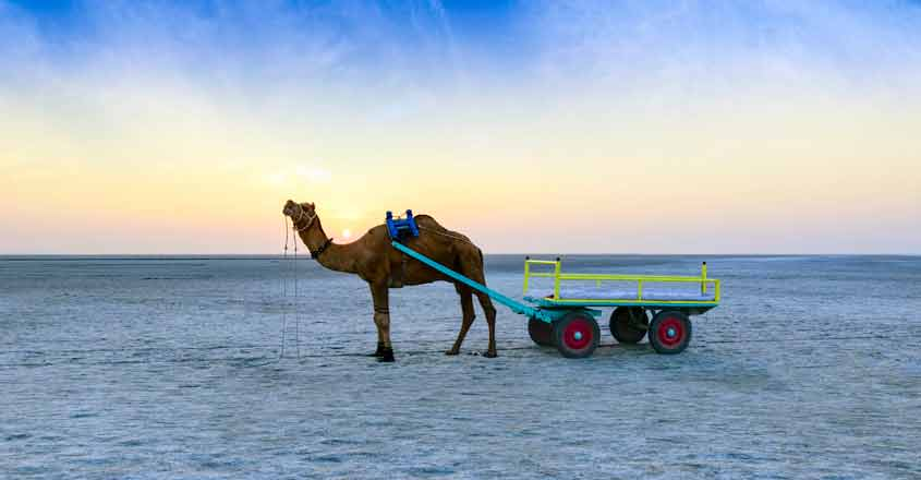 Swimming camels, mangrove islands of Kutch face mounting challenges