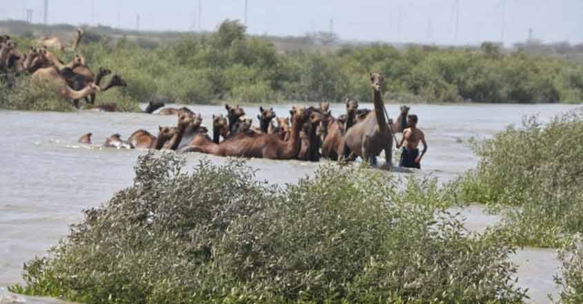 Kharai camels are the only breed of camels that have adapted to coast and dry land. They can swim and also depend on mangrove plants for food. Photo provided by Sahjeevan.
