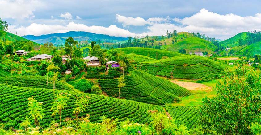 tea-fields-with-houses-and-trees