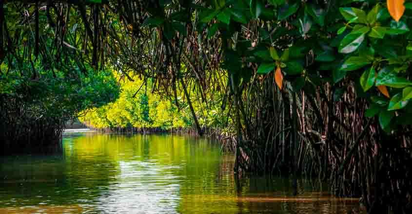 pichavaram-mangrove