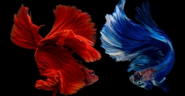 World's only aquarium for Siamese fighting fish