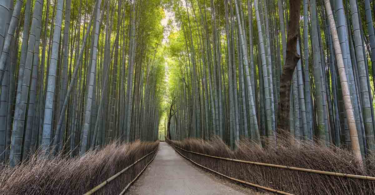 arashiyam-bamboo-grove