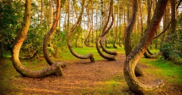 Poland's mysterious Crooked Forest puzzles science