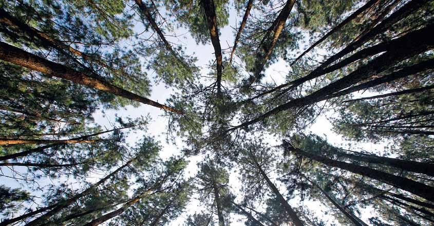vagamon-trees