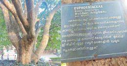 Spotting Kerala's oldest rubber tree is a walk in the park