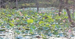 Watch lotus bloom amid teak forest in Wayanad