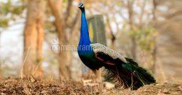 Choolanoor: Where the peacocks dance