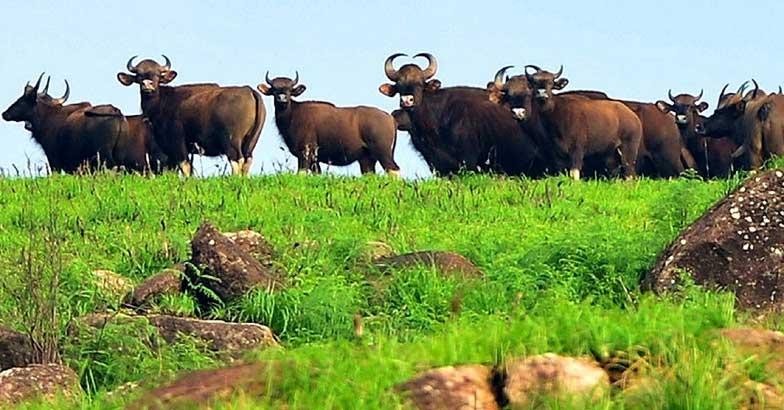 Bisons at Gavi