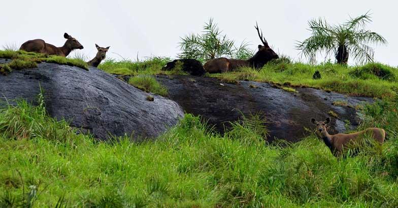 Sambar Deer in Gavi