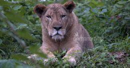 Roaming among the lions at Neyyar