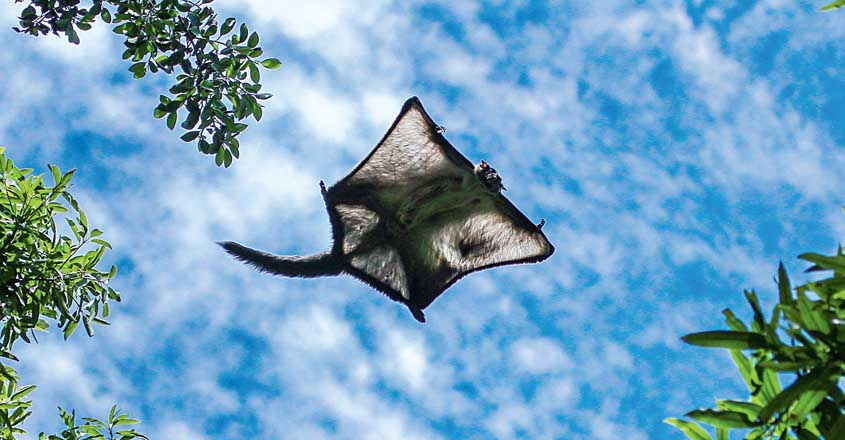 safari-flying-bat