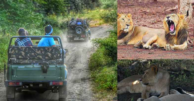 A trip to Gir, only place on earth to see Asiatic lion in the wild