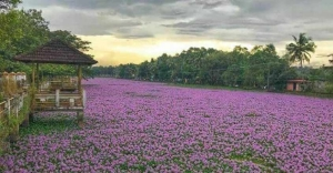 Water lily festival to begin at Malarikkal in August