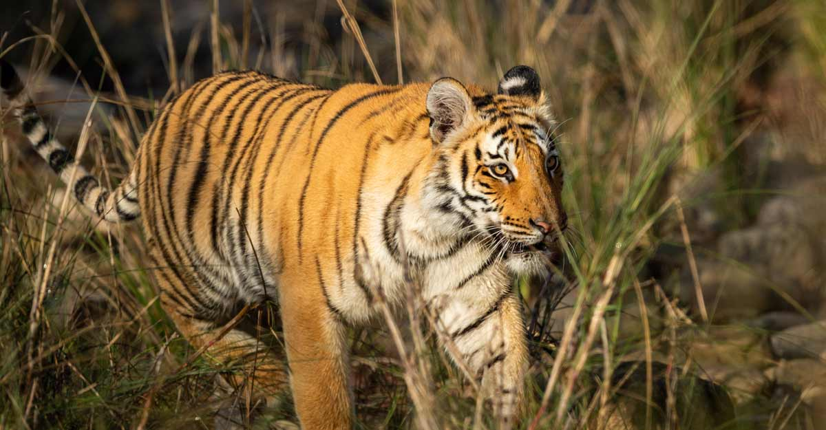 Dudhwa Tiger Reserve to reopen from November 1 with COVID restrictions