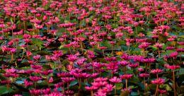 Water lily tourism blooms; Venjali new hot destination like Malarikkal, Ambattukadavu