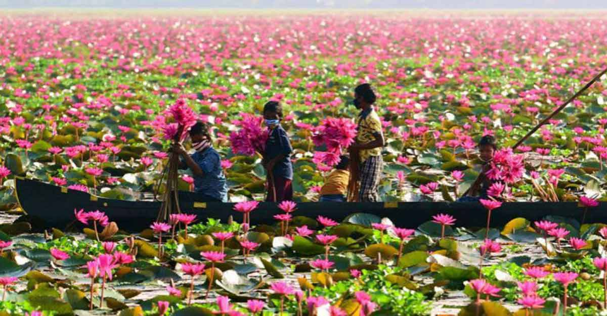 Water lilies offer a pretty sight at Ambattukadavu; but visitors watch out!