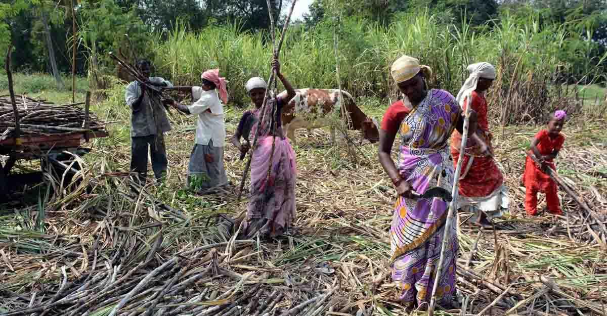 Bitter Truth: Women sugarcane labour 'sacrifice' uterus for wages